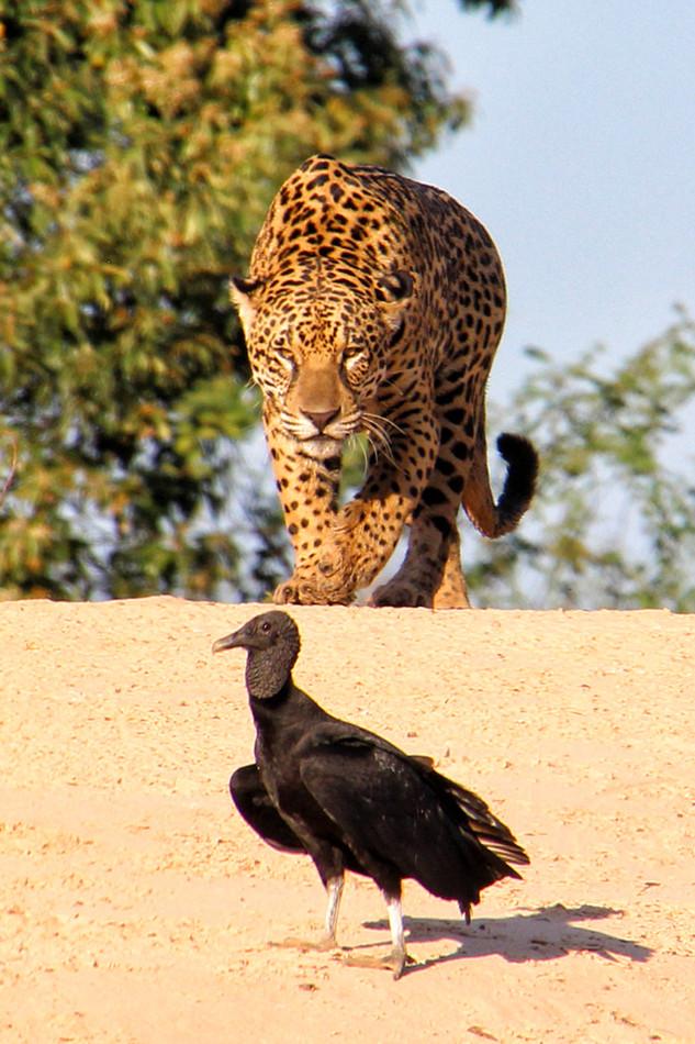 A snack for a jaguar