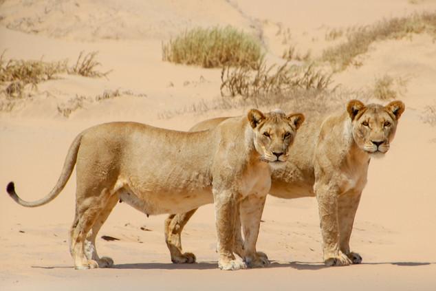 Desert Lions Namibia