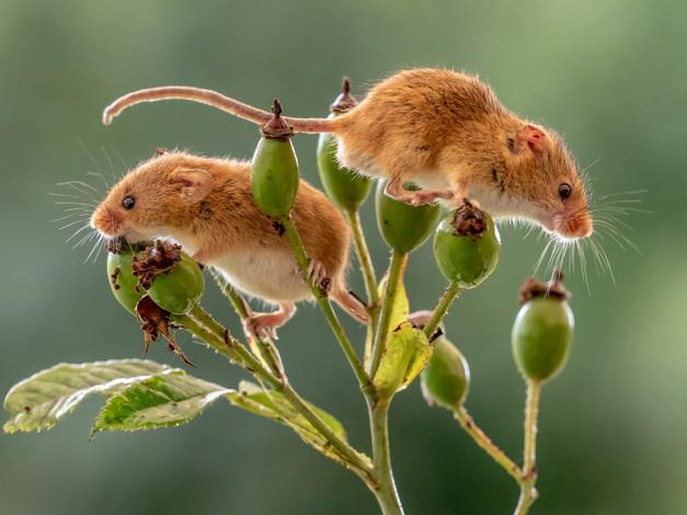 Harvest Mice by Jenny Baker