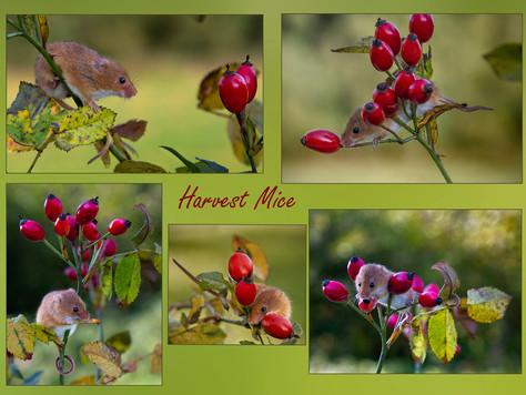 Harvest Mice by Carol Hyett