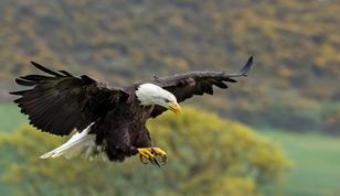 Bald Eagle by Sheila Haycox