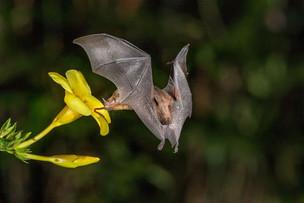 Nature  Long Tongued Bat by Sheila Haycox 2nd