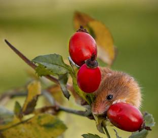 Harvest Mouse by Carol Hyett