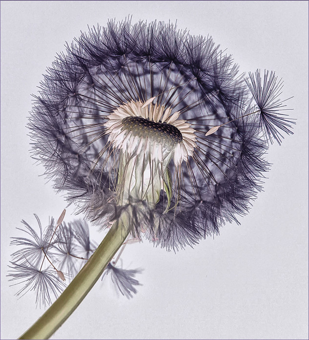 Dandelion by Elaine Bateman