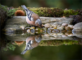Chaffinch Drinking by Peter Hyett