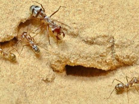 Hormigas del Sáhara: los animales con un podómetro interno