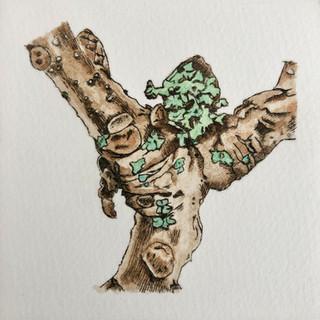 Lichens on Quercus robur