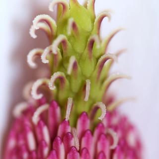 Magnolia close-up