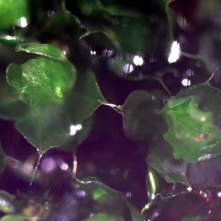 Common garden moss