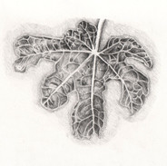 Fatsia Japonica Leaf