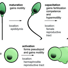 What Is Sperm Motility and the way Does It Affect Fertility?