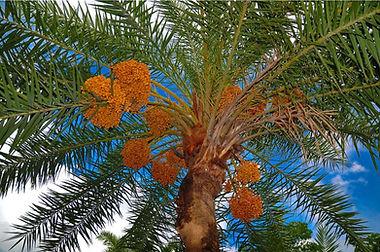 date palms.JPG