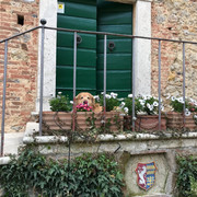 Vineyard Pup