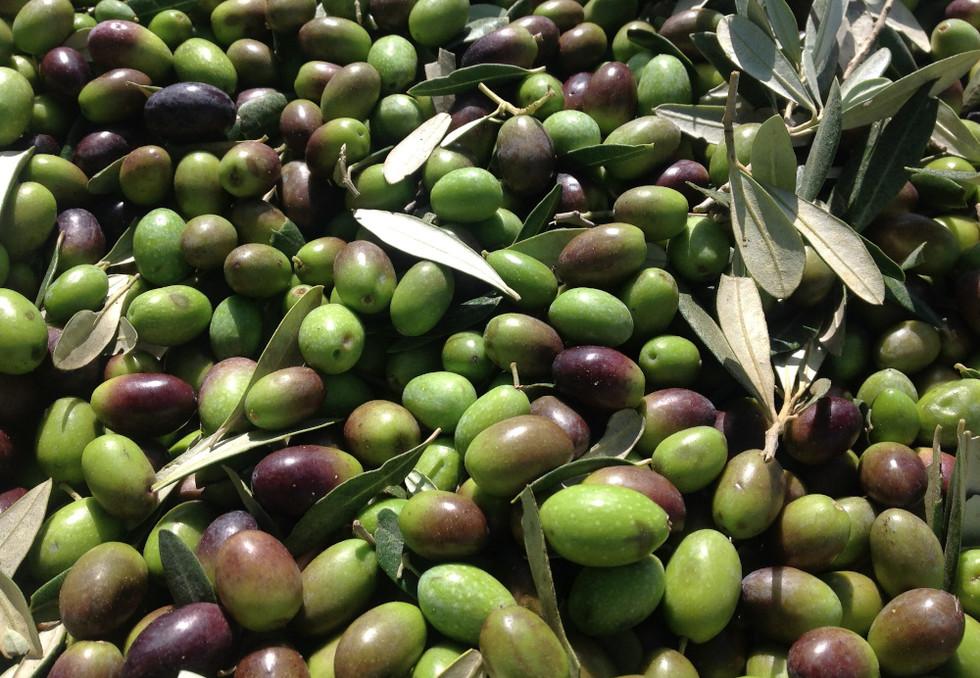 foto olive 3 _sito.JPG