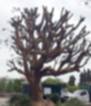Tree Trimming in South Bay