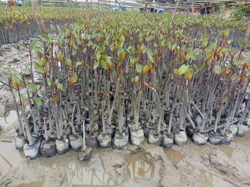 55,000 Mangrove trees planted