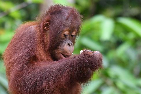 Infant Bornean Orangutan ennjoying a sna