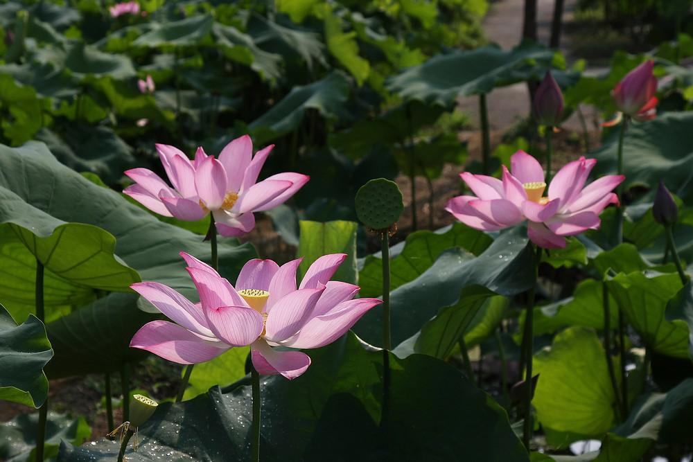 Lotus Flowers 06.jpg