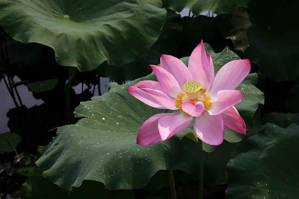 Lotus Flowers 03.jpg