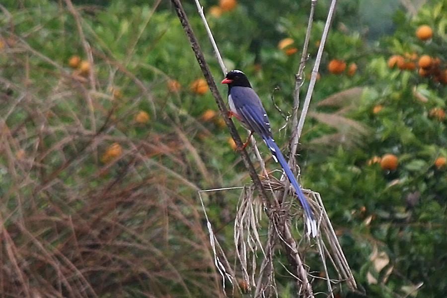 Red-billed Blue Magpie 03 s.jpg