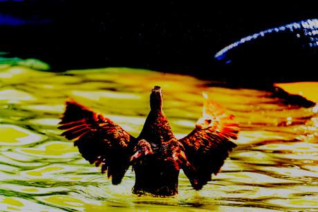 Duck In Sulymaniyah