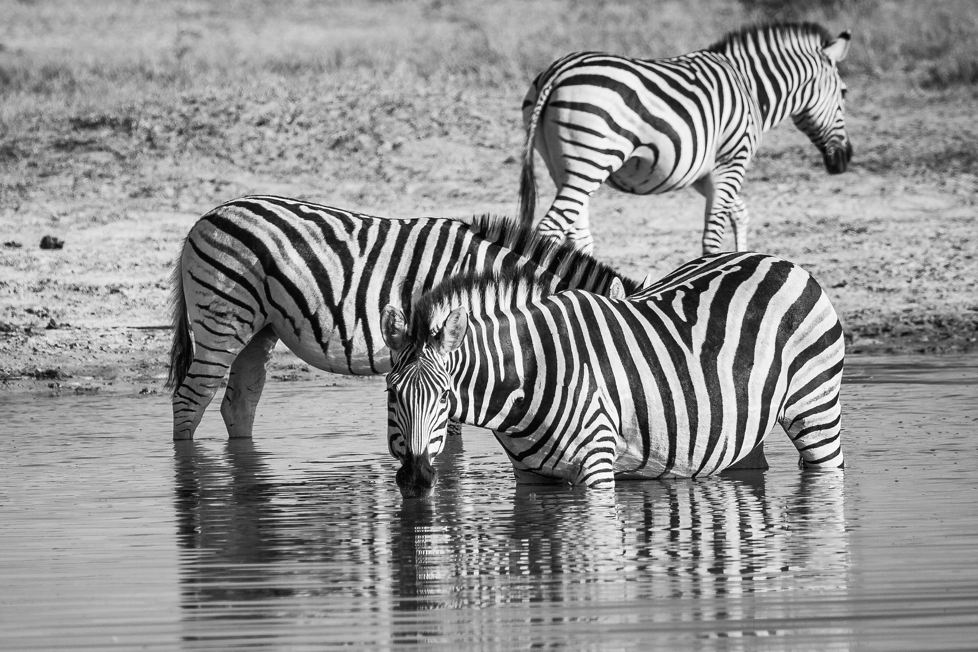 zebra-drinking-ea35b8092b_1920