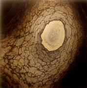 Sequoiadendron giganteum_Ronile Valenza.