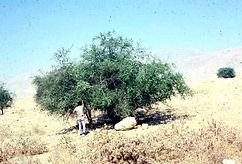 Sidr Tree, Yemeni Sidr Honey, Healthy, Best Quality, Honeybee