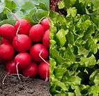 seminte ridichi si salata verde