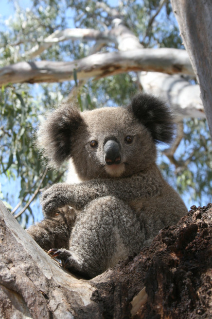 Finding Effective Strategies for Koala Recovery