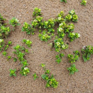plante de la dune