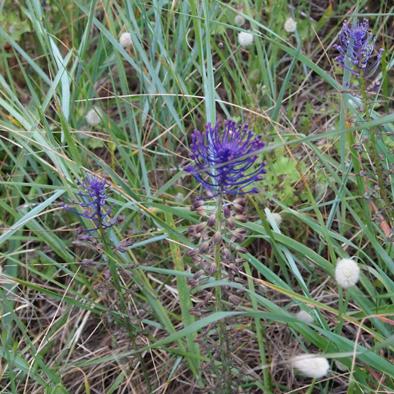 flore corniche Saint Hilaire Nautisme (7)