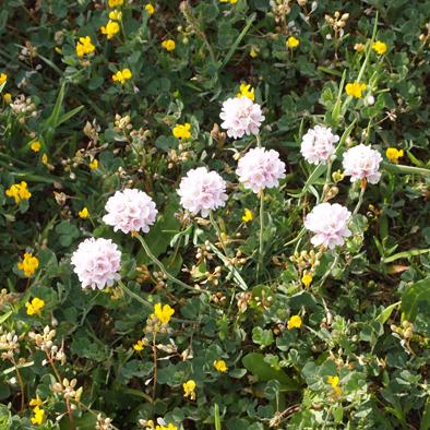 flore corniche Saint Hilaire Nautisme (2)