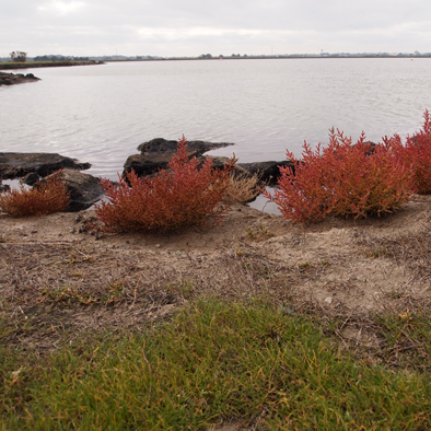 Salicorne d'automne