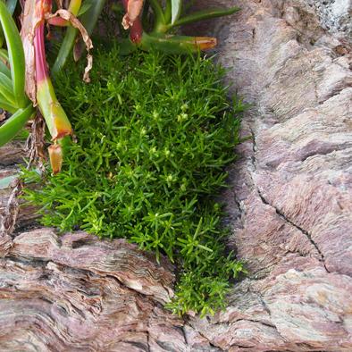flore corniche Saint Hilaire Nautisme (5)