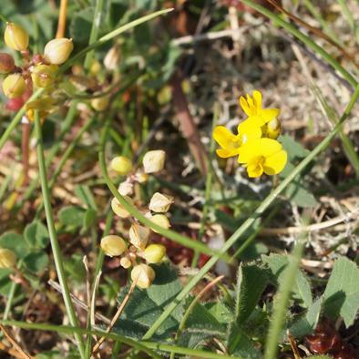 flore corniche Saint Hilaire Nautisme (3)