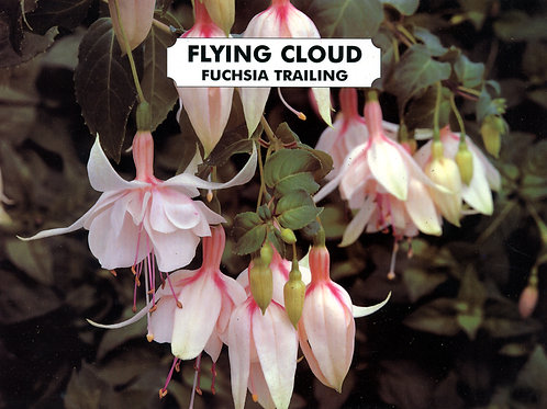 Fuchsia Flying Cloud