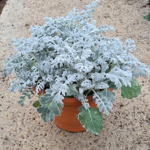 Cineraria Silver Dust - Planted Pot