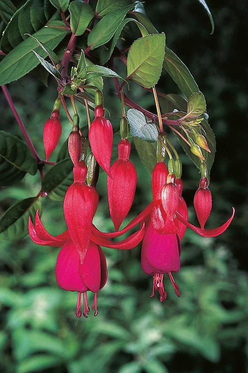 Fuchsia Balcony Queen