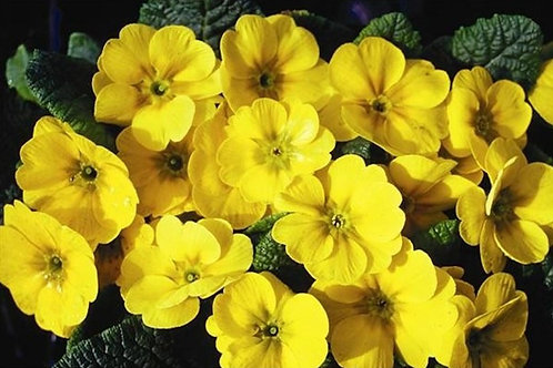 Primrose F1 - Golden Yellow
