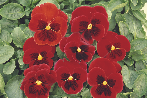 Pansy F1 Red