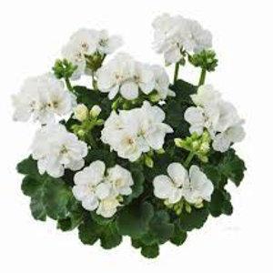 Zonal Geranium - Dolce Vita Dark Leaf White
