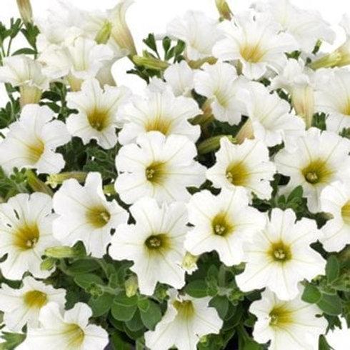 Petunia Compact Trailing Vivini White