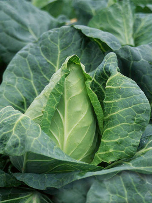 Veg Cabbage - Pyramid/Pointed