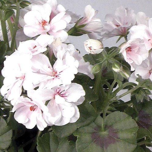 Ivy Leaf Trailing Geranium - Lona / Albina White