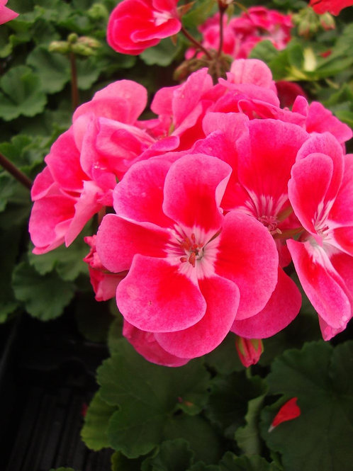 Zonal Geranium - Claudio (Rose with eye)