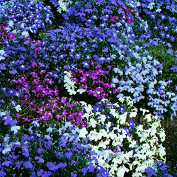 Blues & Purples