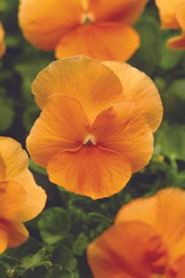 Pansy F1 Deep Orange
