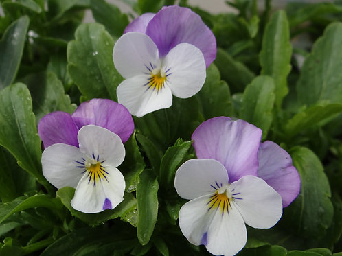 Viola F1 White with Rose Wing