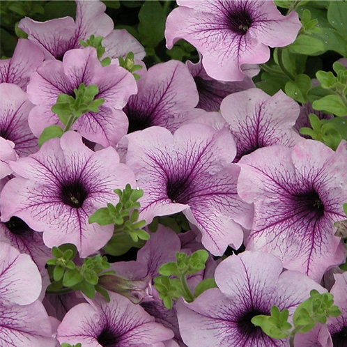 Trailing Petunia Surfinia Compact Purple Vein